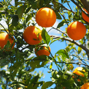 Evergreen Fruit & Citrus Trees