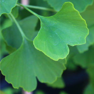 Ginkgo biloba 'Autumn Gold' – Maidenhair Tree