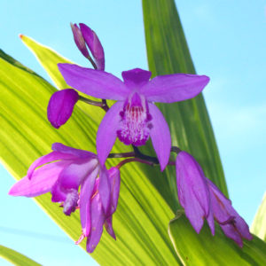 Bletilla striata – Chinese Ground Orchid