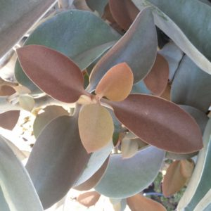 Kalanchoe orgyalis – Copper Spoons