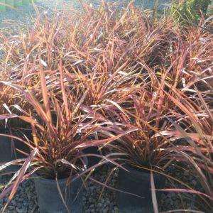 Phormium 'Rainbow Maiden' – New Zealand Flax