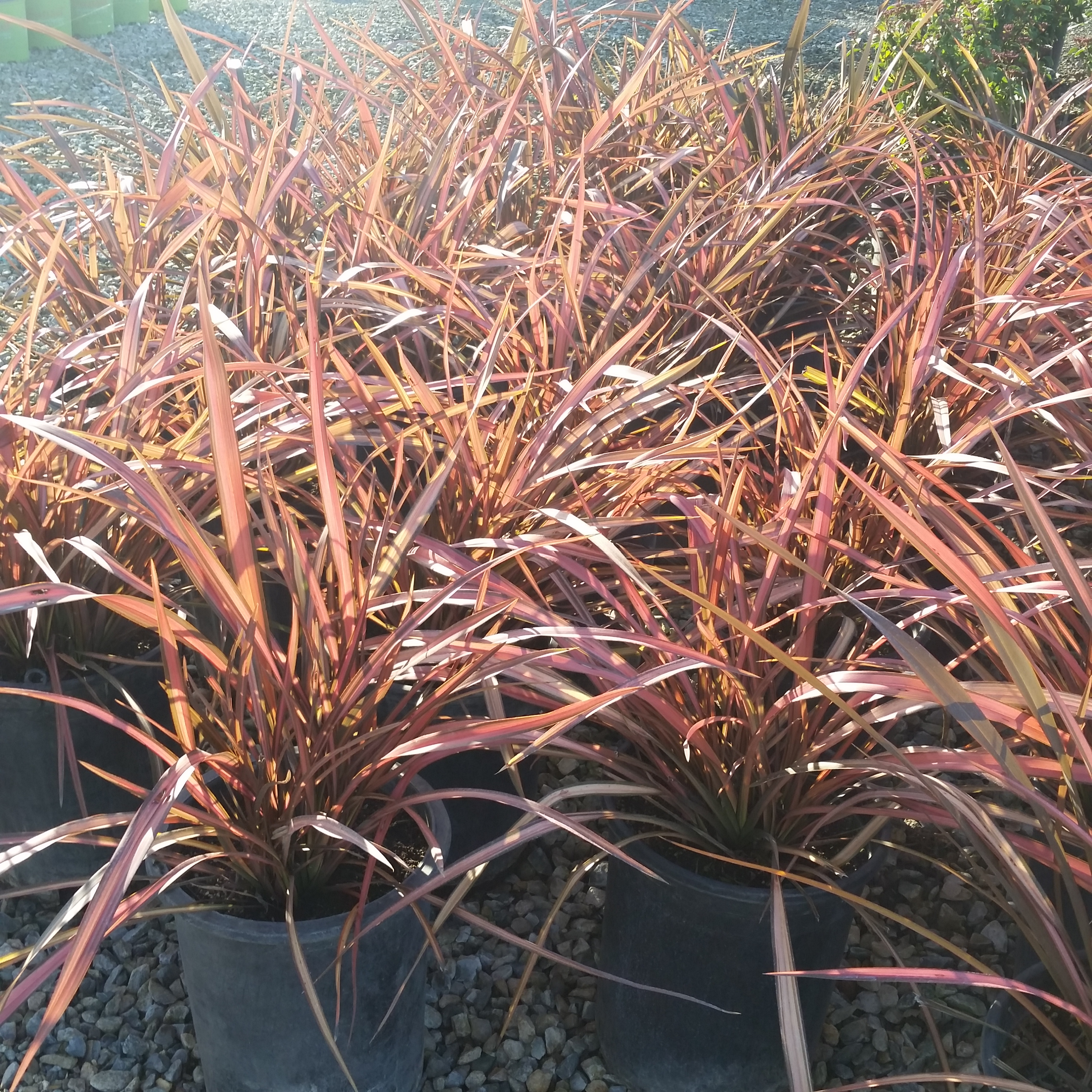 Picture of Live Rainbow Maiden New Zealand Flax aka Phormium Rainbow Maiden Shrubs Plant Fit 5 Gallon Pot