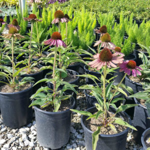 Echinacea purpurea 'Green Twister' – Coneflower