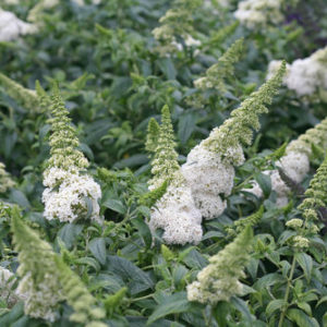 Buddleia x 'Pugster White®' – Butterfly Bush