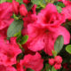 Azalea Bloom-A-Thon® 'Red'