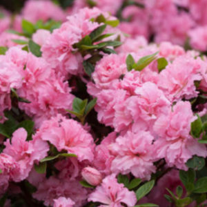 Azalea Bloom-A-Thon® 'Pink Double'