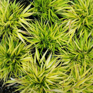Hakonechloa macra 'All Gold' – Japanese Forest Grass