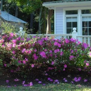 Azalea Encore® 'Autumn Royalty™'