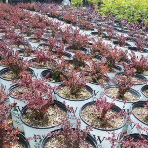 Berberis thunbergii Sunjoy® 'Mini Salsa' – Barberry