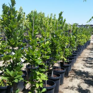 Quercus robur var. bicolor 'Kindred Spirit®'