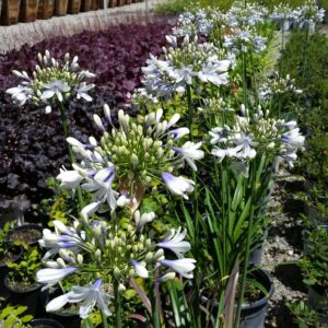Agapanthus 'Twister' – Lily of the Nile